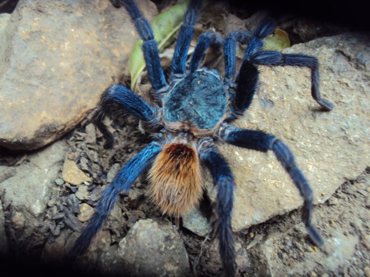 The tarantulas are the world's largest spiders. They are big, hairy, dangerous and fast. And, apparently, they make good pets!