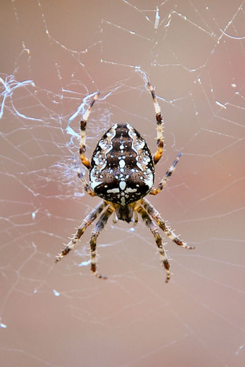 The Garden Spider is one of the few species that actually spin what we think of as a typical spider's web!