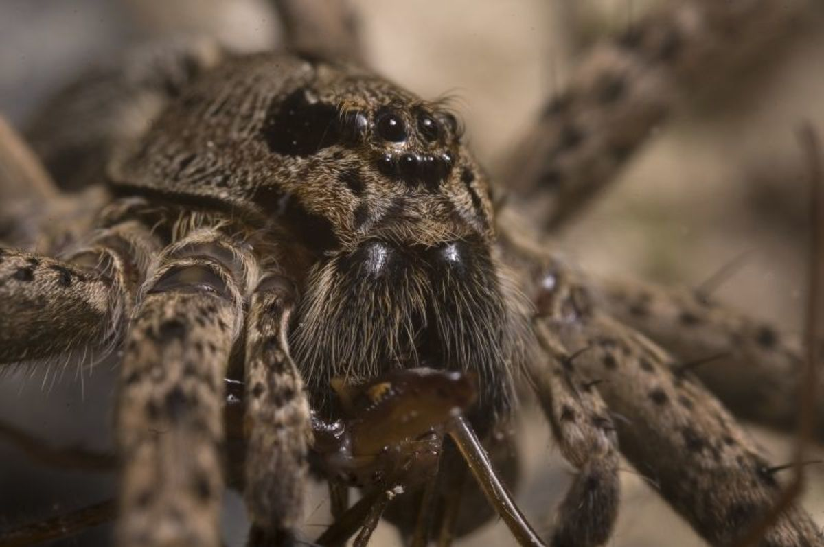 This close up shot of a water spider makes it seem as if she has a face. Actually, what looks like the nose is just a whole bunch more eyes! Can you count how many eyes she has?