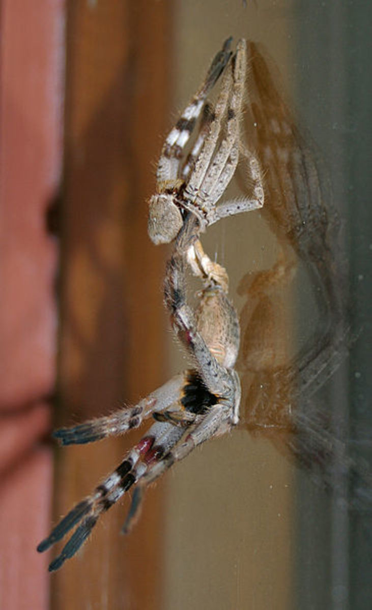 This photo shows a Huntsman spider emerging from its old exoskeleton after molt.