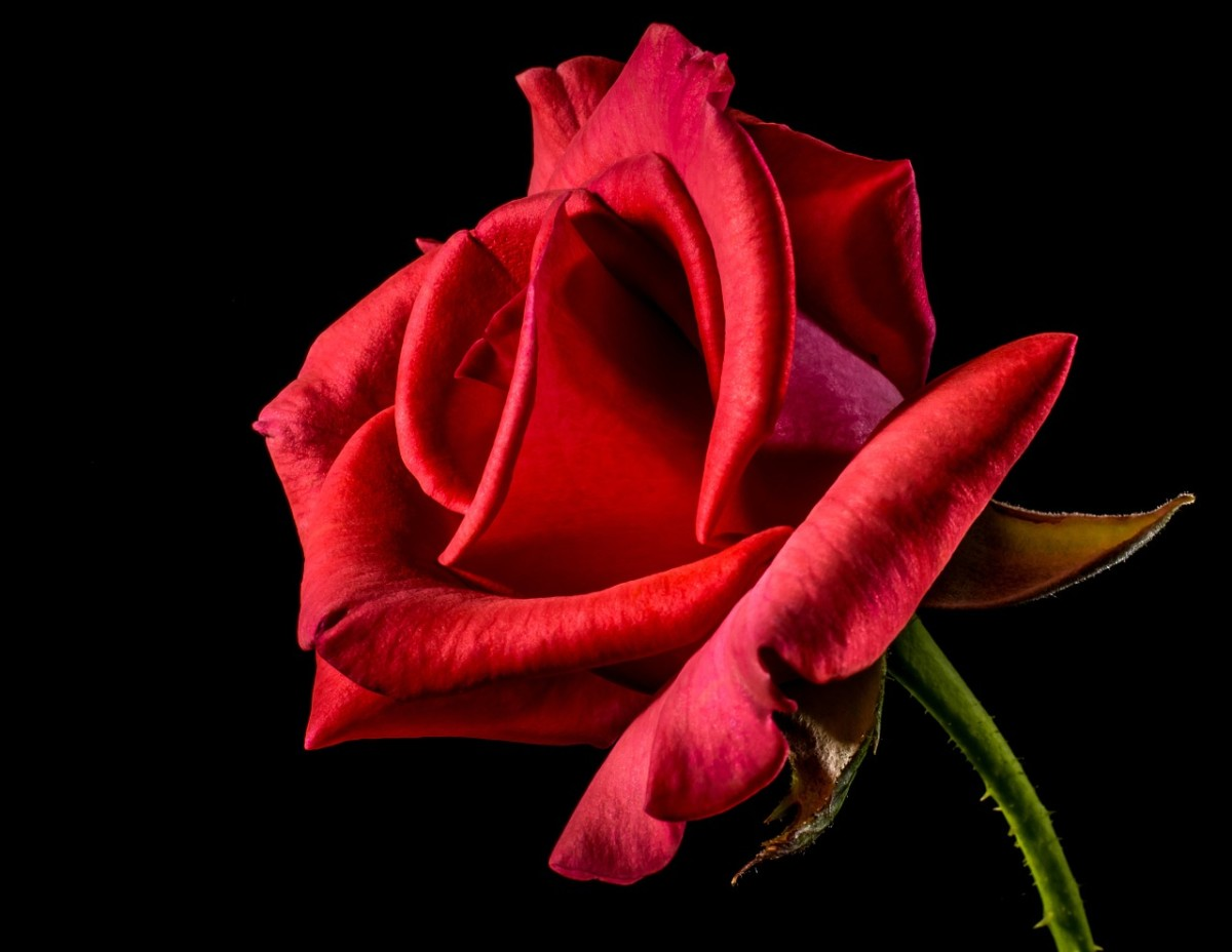 """""""A crimson bloom""""i is a rose by another name."""