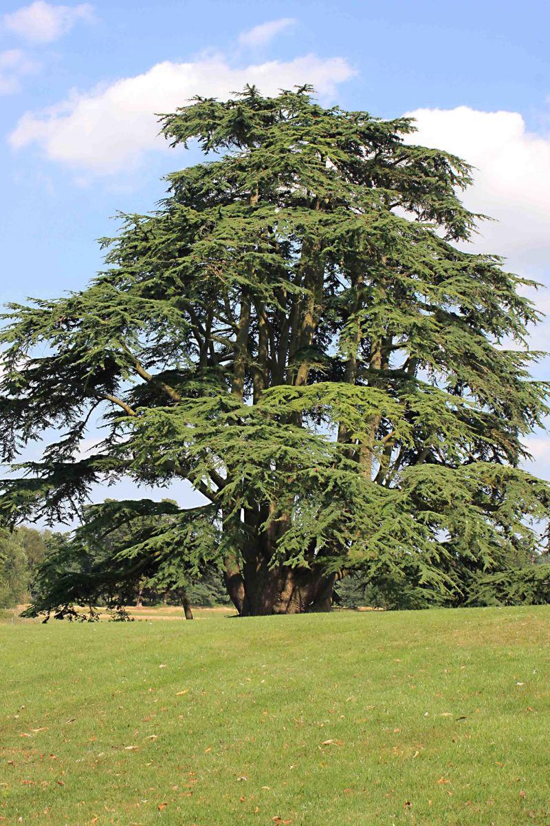 An ancient cedar - the grounds  feature some impressive specimen trees
