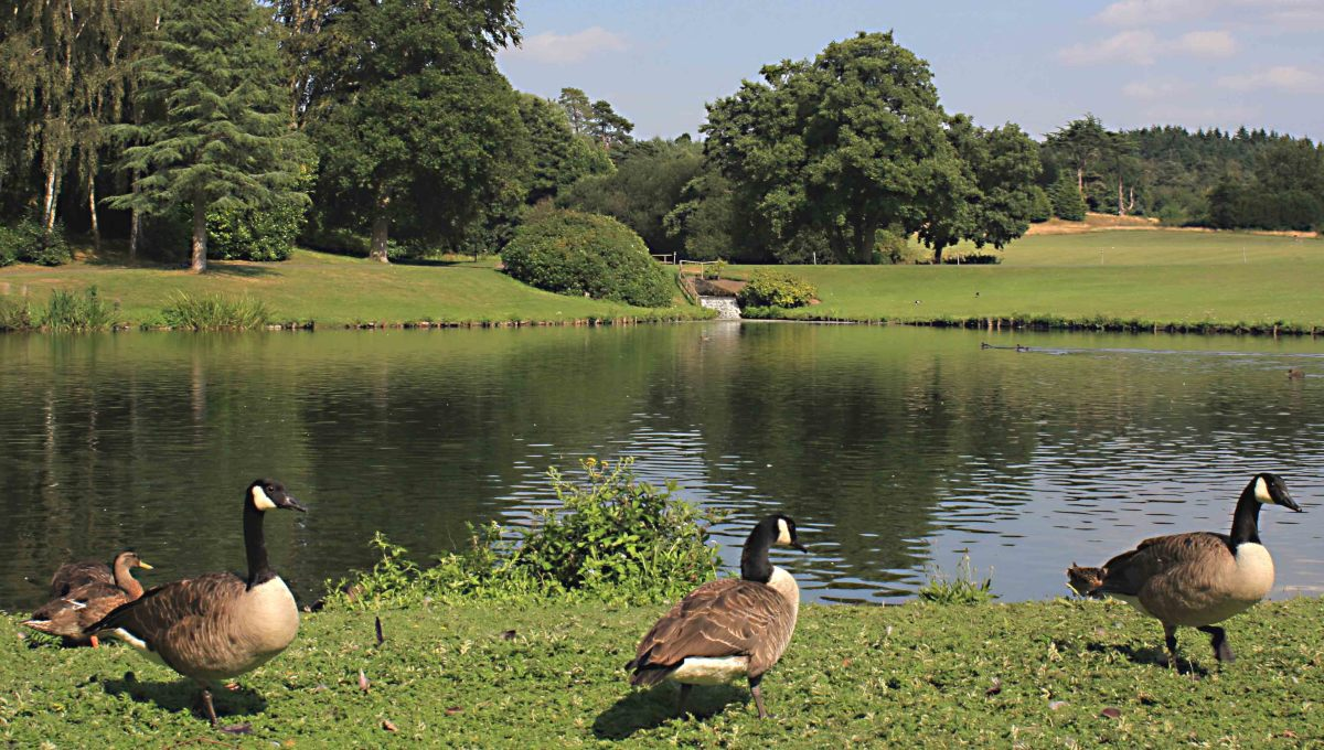 Canada geese by one of the lakes - a tranquil Leeds Castle scene
