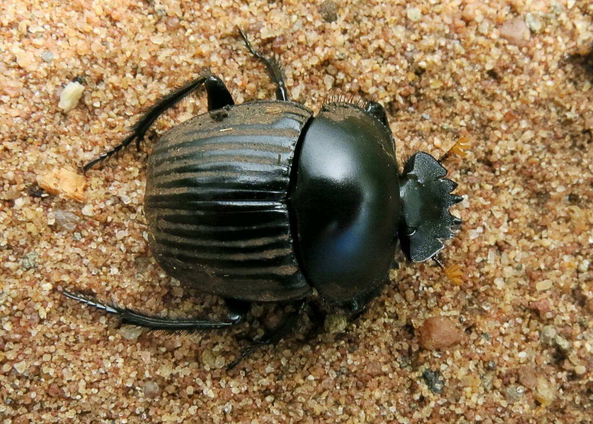 A Soutpansberg dung beetle (Scarabeus schulzeae) from South Africa
