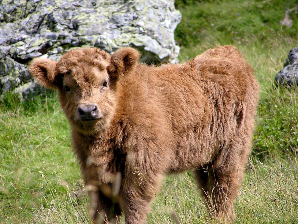 A Highland cow calf