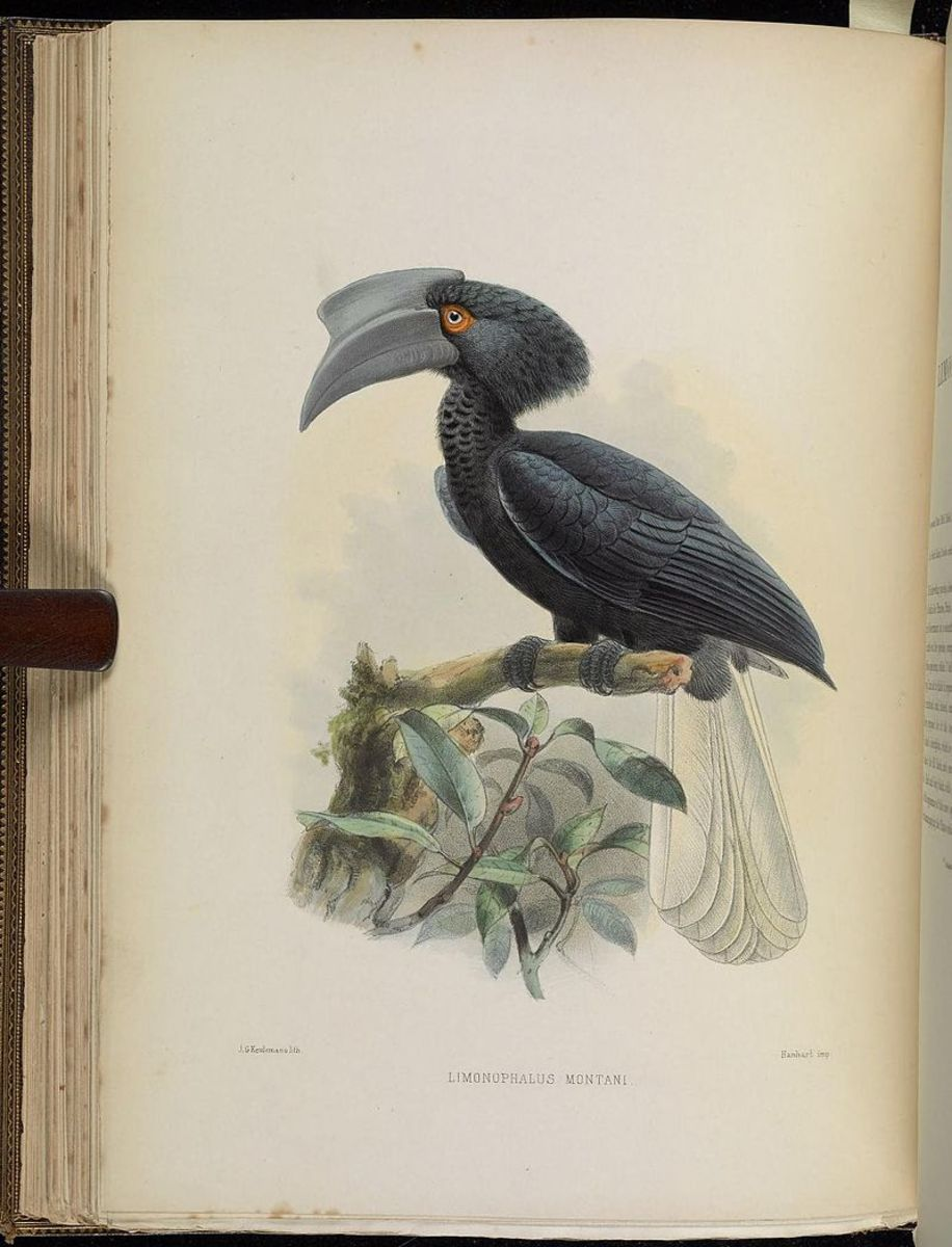 Sulu Hornbill (scientific name: Anthracoceros montani)