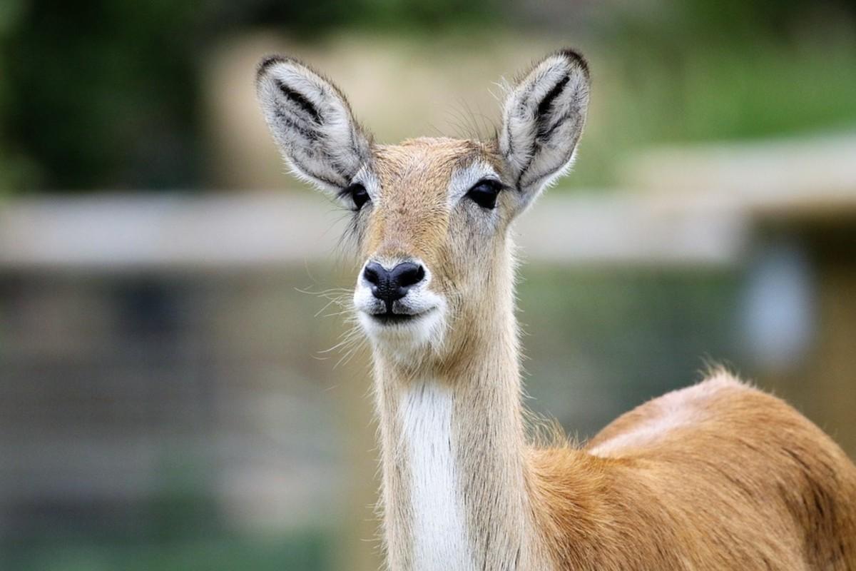 Calamian Deer or Calamian Hog Deer (Hyelaphus calamianensis)