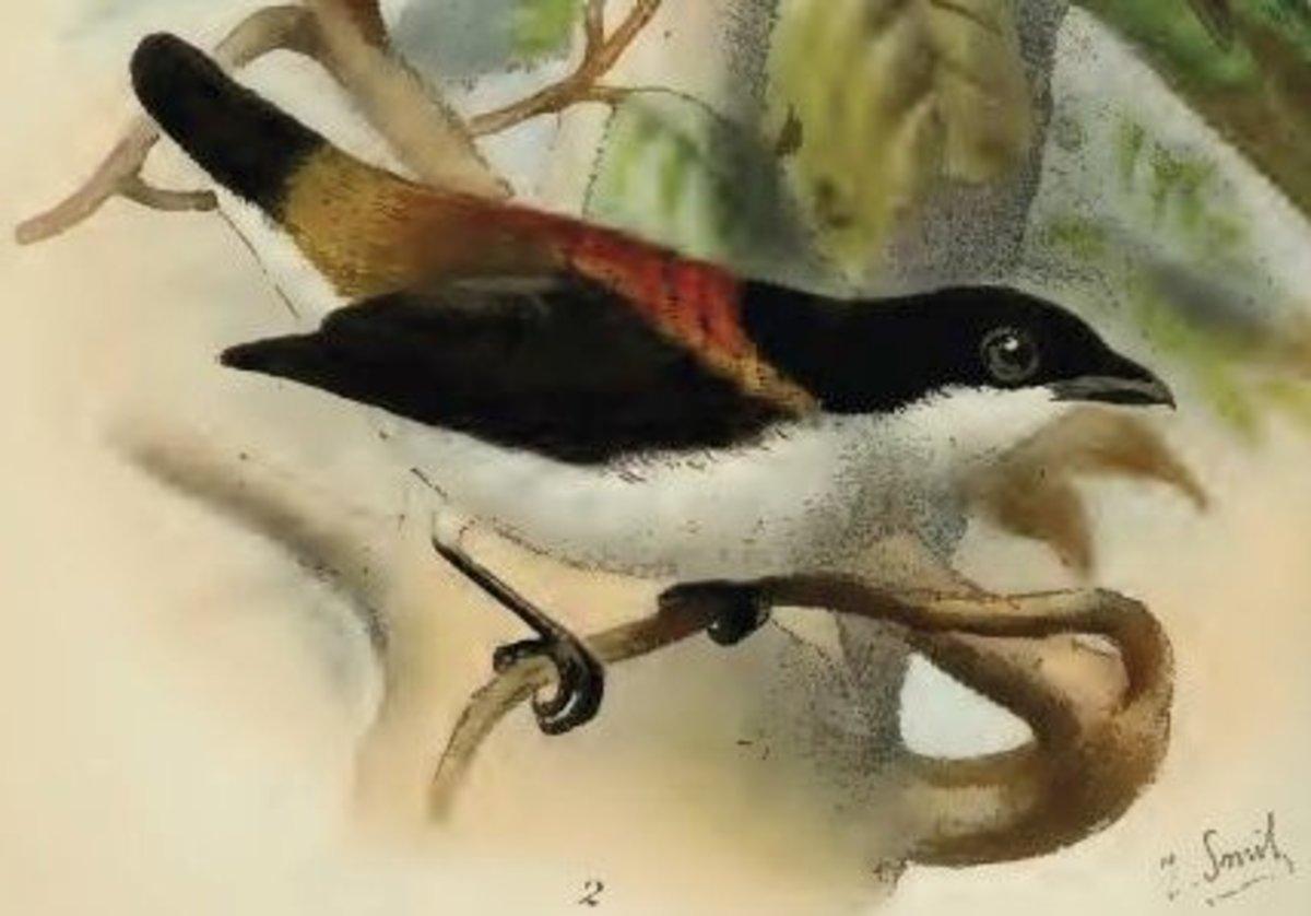 Cebu Flowerpecker (Dicaeum quadricolor)