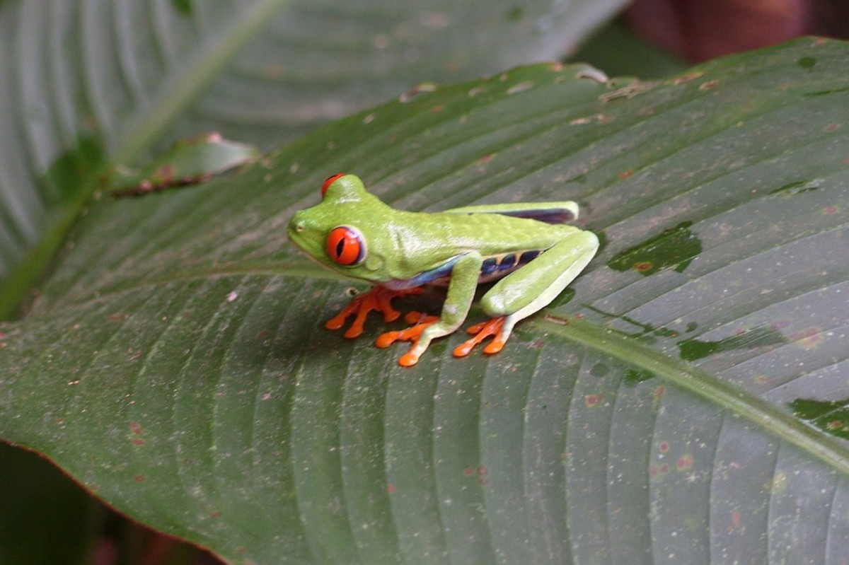 Mindoro Tree Frog (Philautus schmackeri)