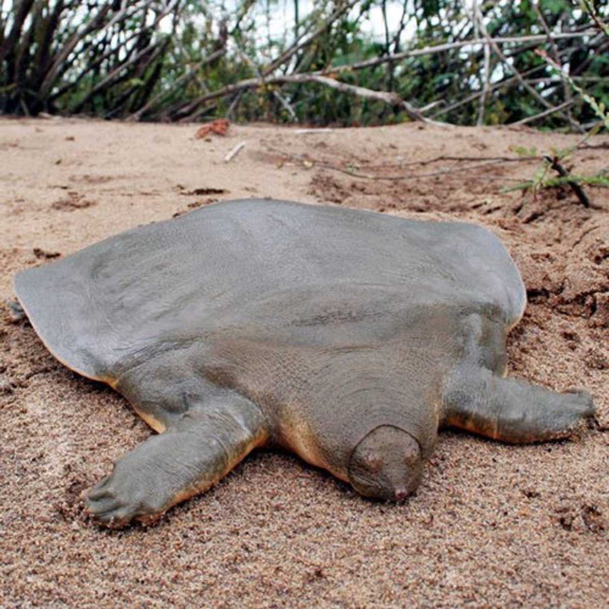 Frog-faced soft shell turtle (scientific name: Pelochelys cantorii)