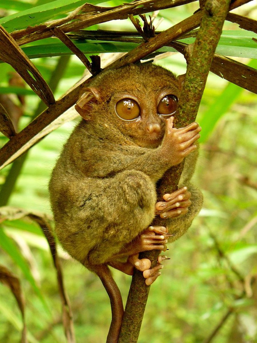 The Philippine tarsier (scientific name: Carlito syrichta)