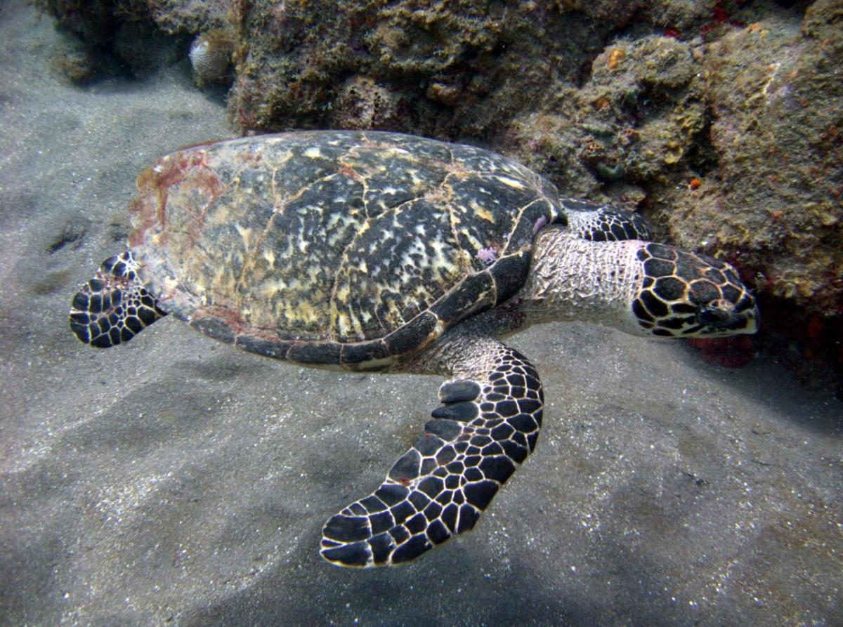 Hawksbill sea turtle (scientific name: Eretmochelys imbricate)
