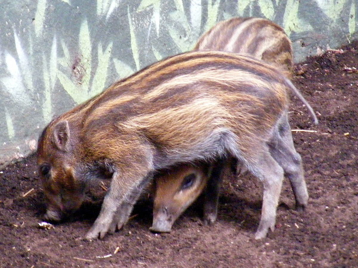 5. Visayan warty pig (scientific name: Sus cebifrons)