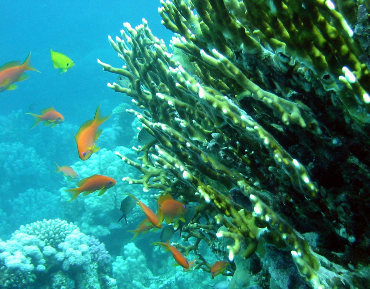 Net Coral (Alveopora excelsa)