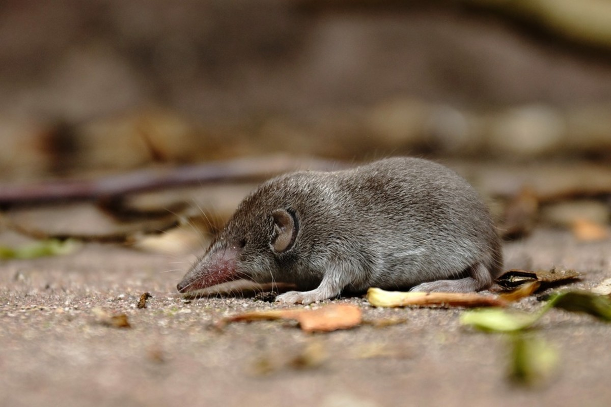 Negros shrew (scientific name: Crocidura negrina)