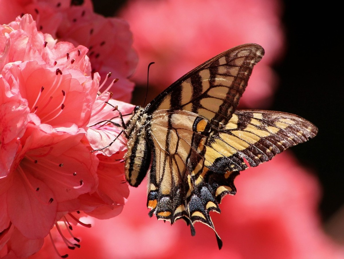 Apo Swallowtail (Graphium sandawanum)