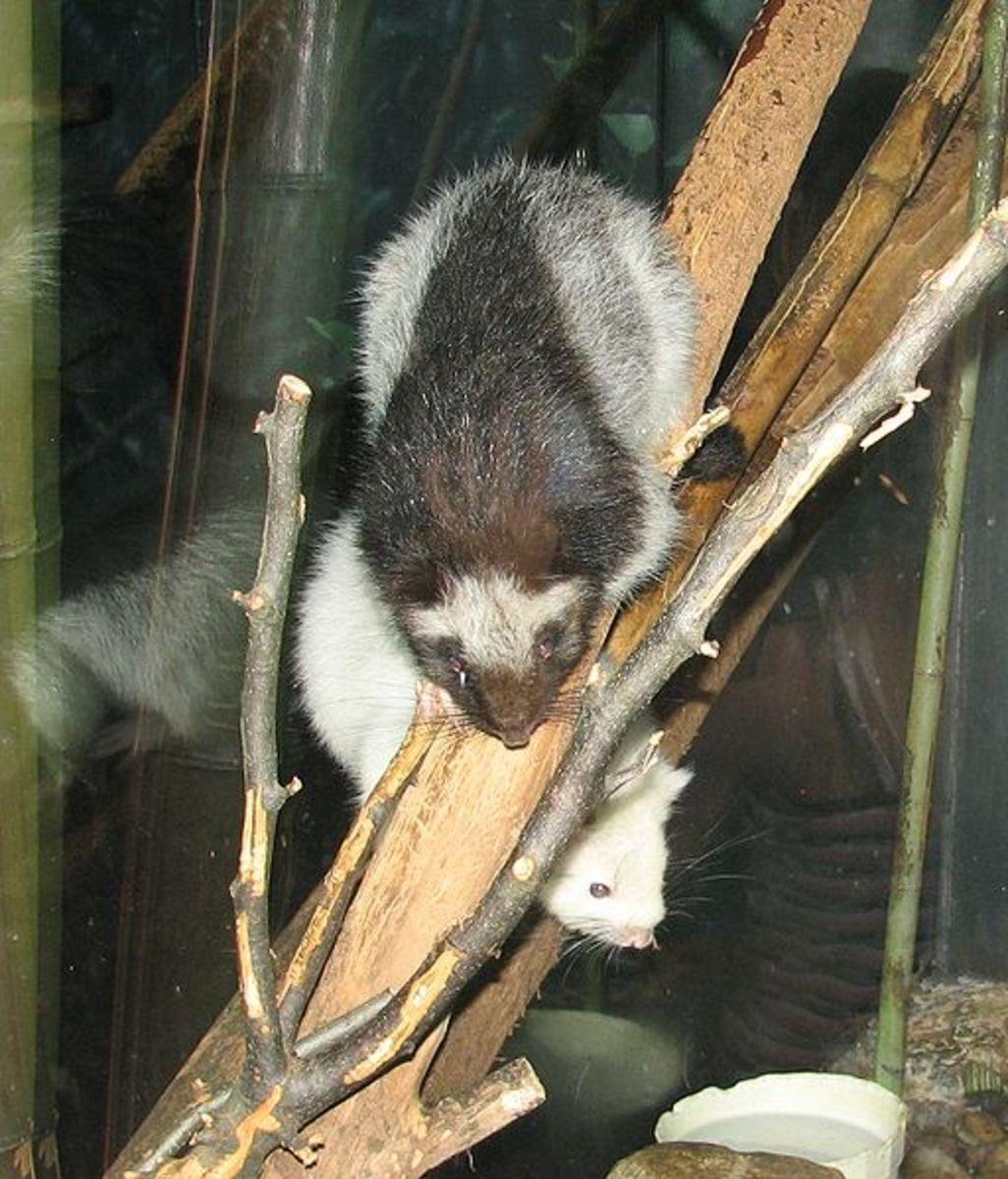 Dinagat Bushy-Tailed Cloud Rat (Crateromys australis)