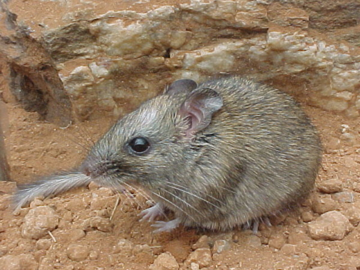Russet Batomys or Dinagat Hairy-Tailed Rat (Batomys russatus)