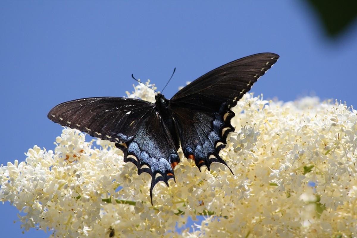 Luzon Peacock Swallowtail (Papilio chikae)