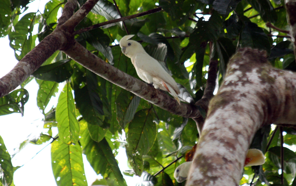 6. Philippine cockatoo (scientific name: Cacatua haematuropygia)