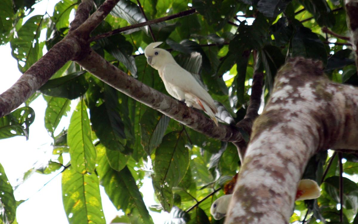 Philippine Cockatoo (Cacatua haematuropygia)