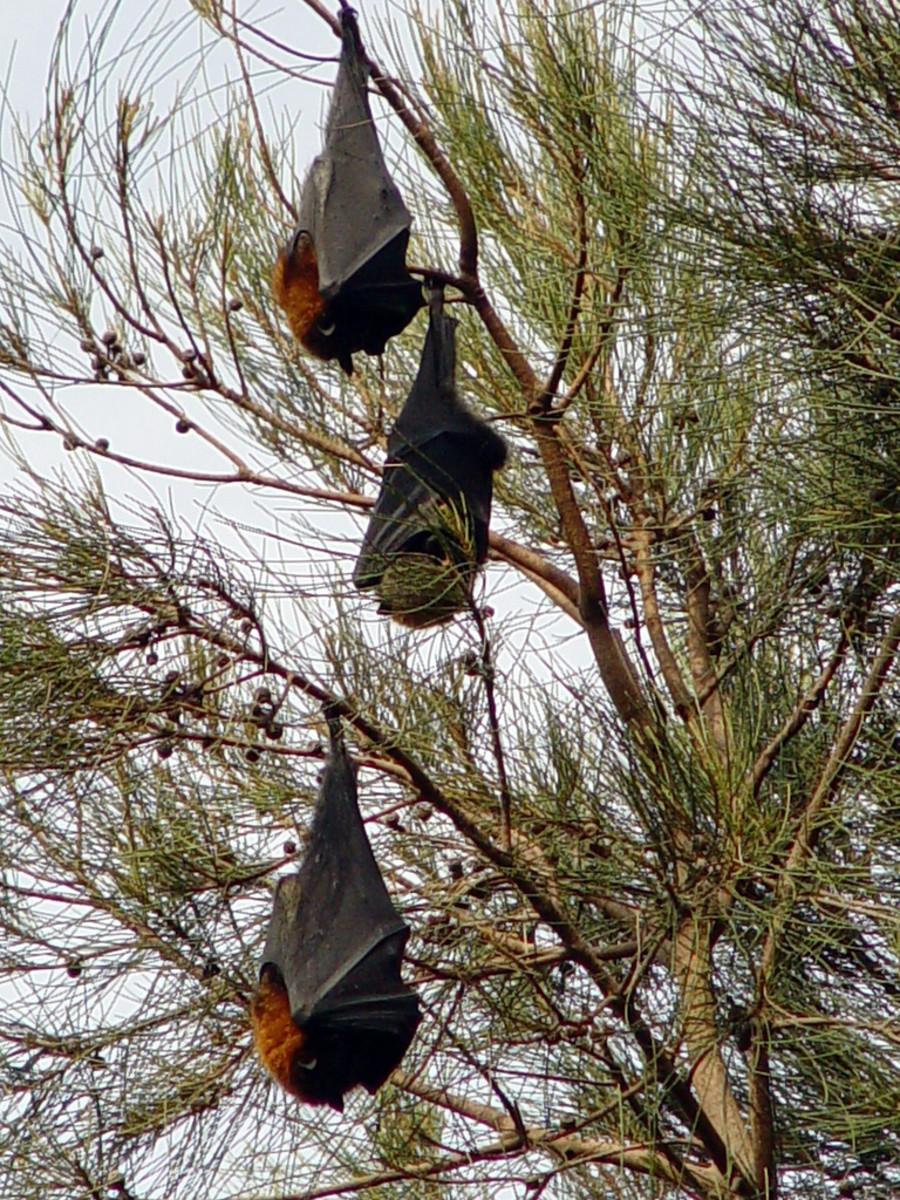 Philippine Naked-Backed Fruit Bat (Dobsomia chapmani)