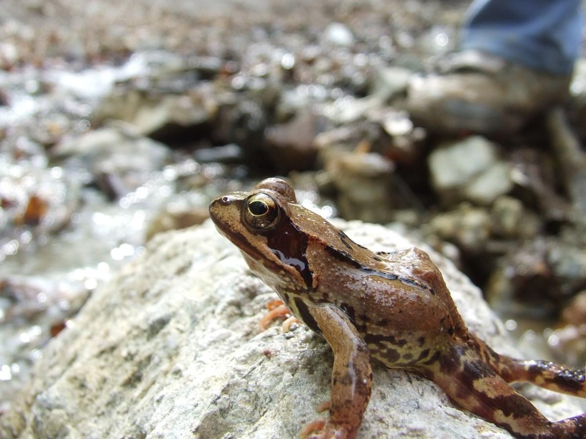 Hazel's Forest Frog (Platymantis hazelae)