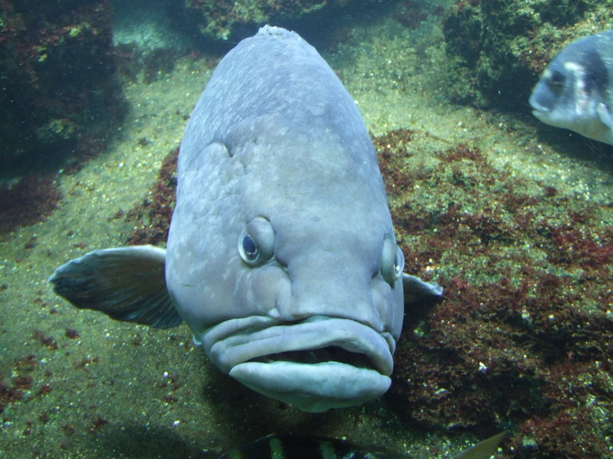 Humphead wrasse (scientific name: Cheilinus undulates)