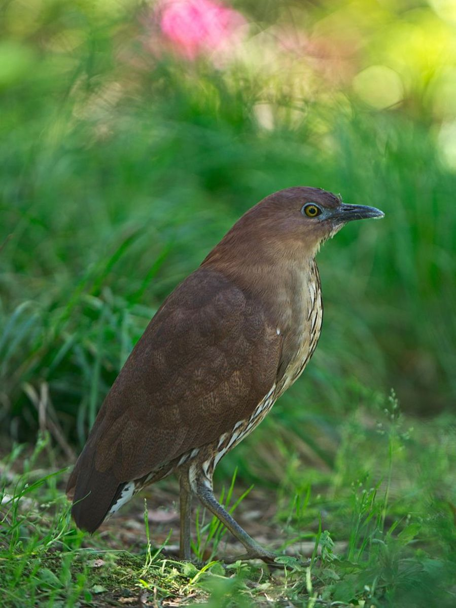 Japanese Night-Heron (Gorsachius goisagi)