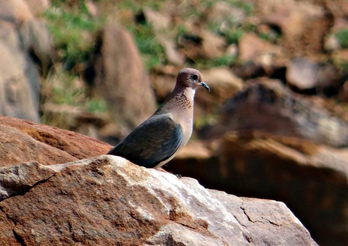 Tawitawi Brown Dove (Phapitreron cinereiceps)