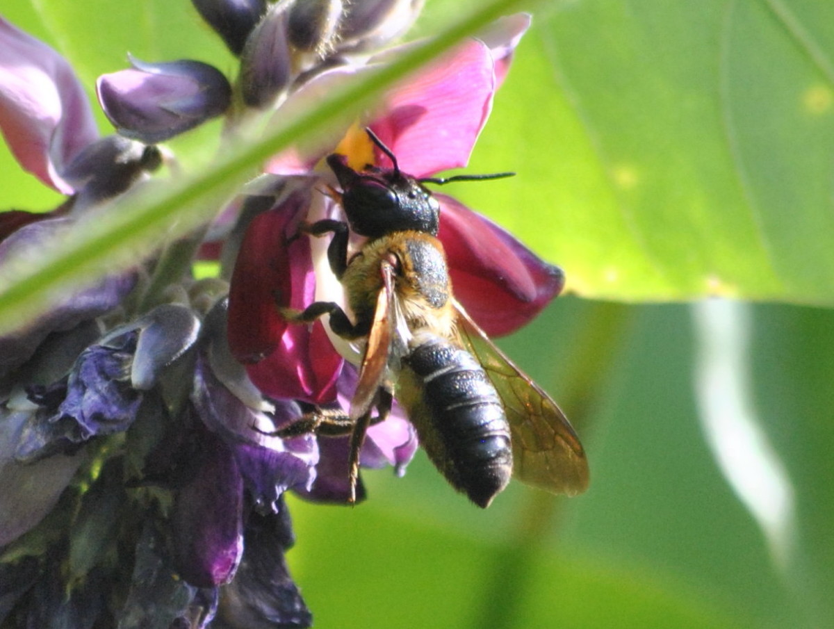 A honey bee harvests nectar from a kudzu blossom.