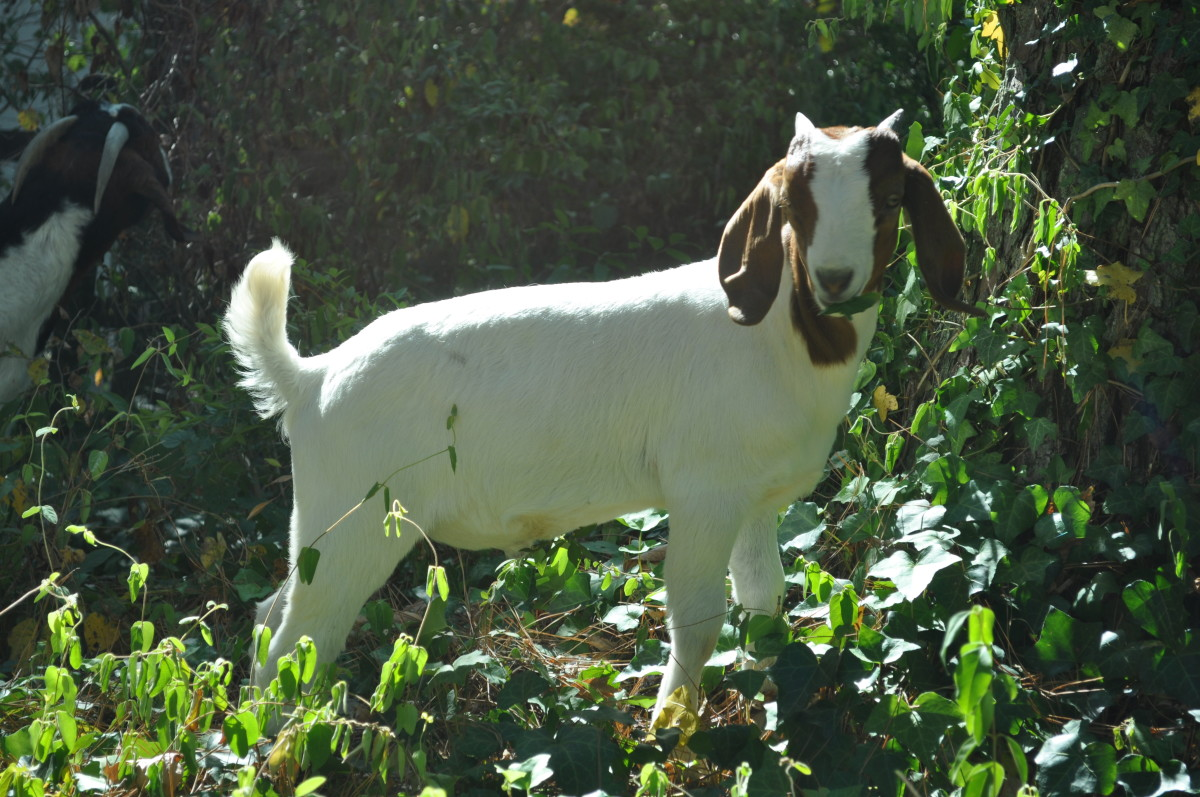 Goats are nature's best weed control.