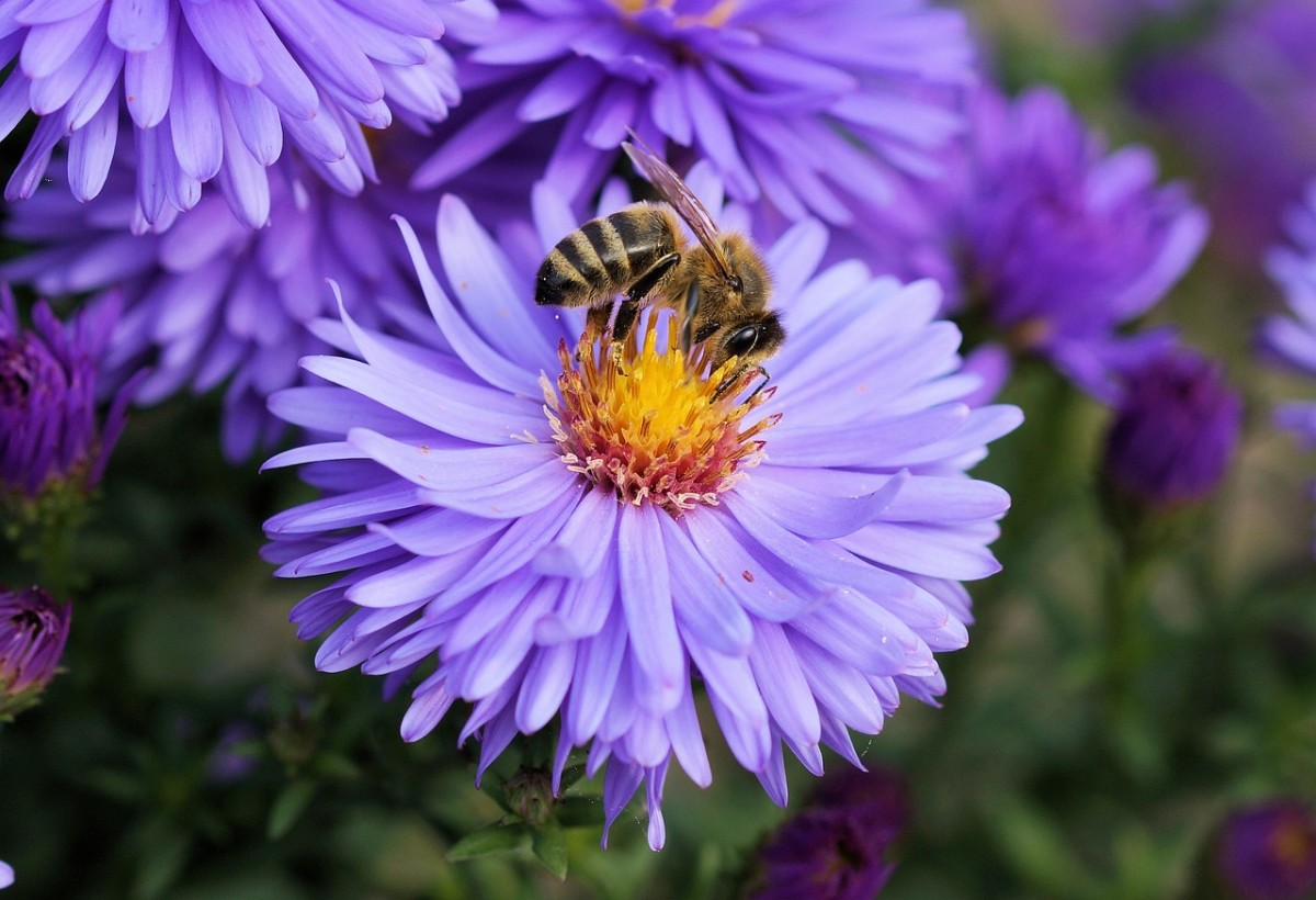 A honey bee foraging for nectar and pollinating flowers.