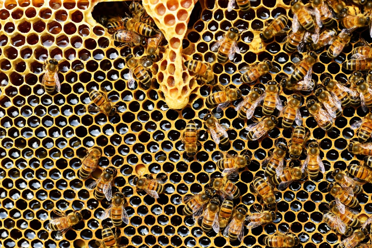 Bees making and tending to the honeycomb.