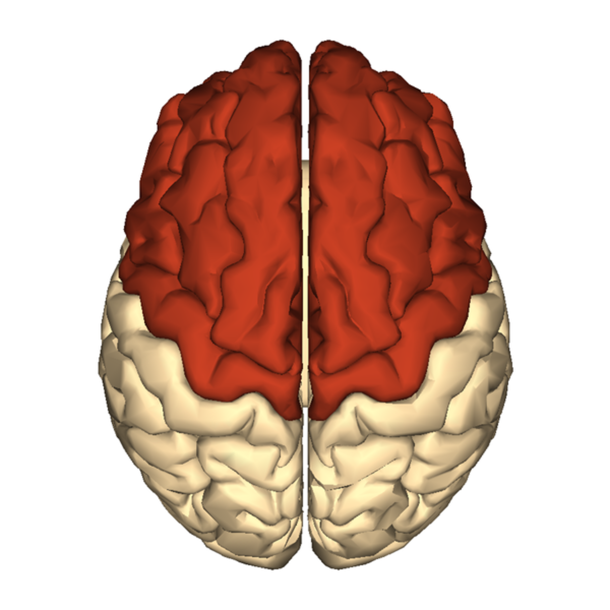 View of the frontal lobes of the human brain from above