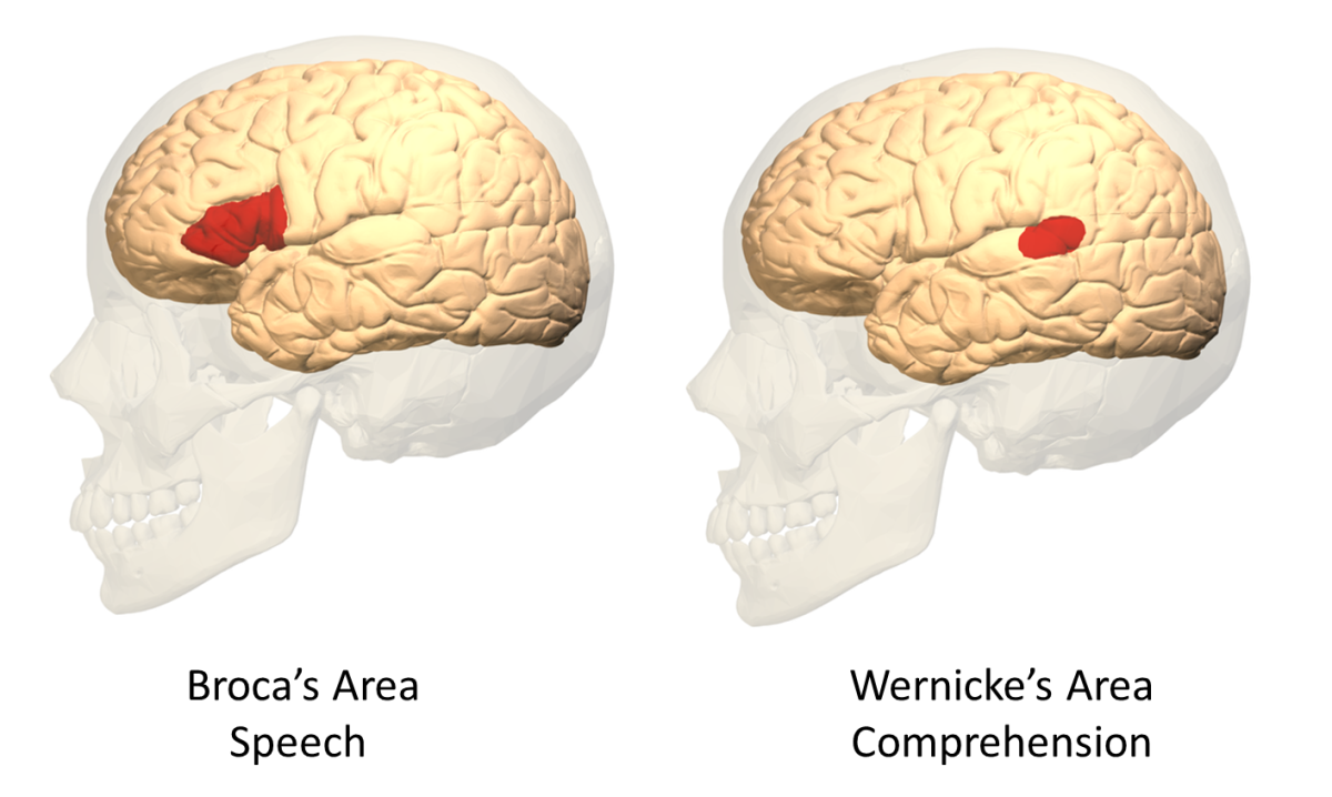 Lateral Views of Broca's and Wernicke's Areas