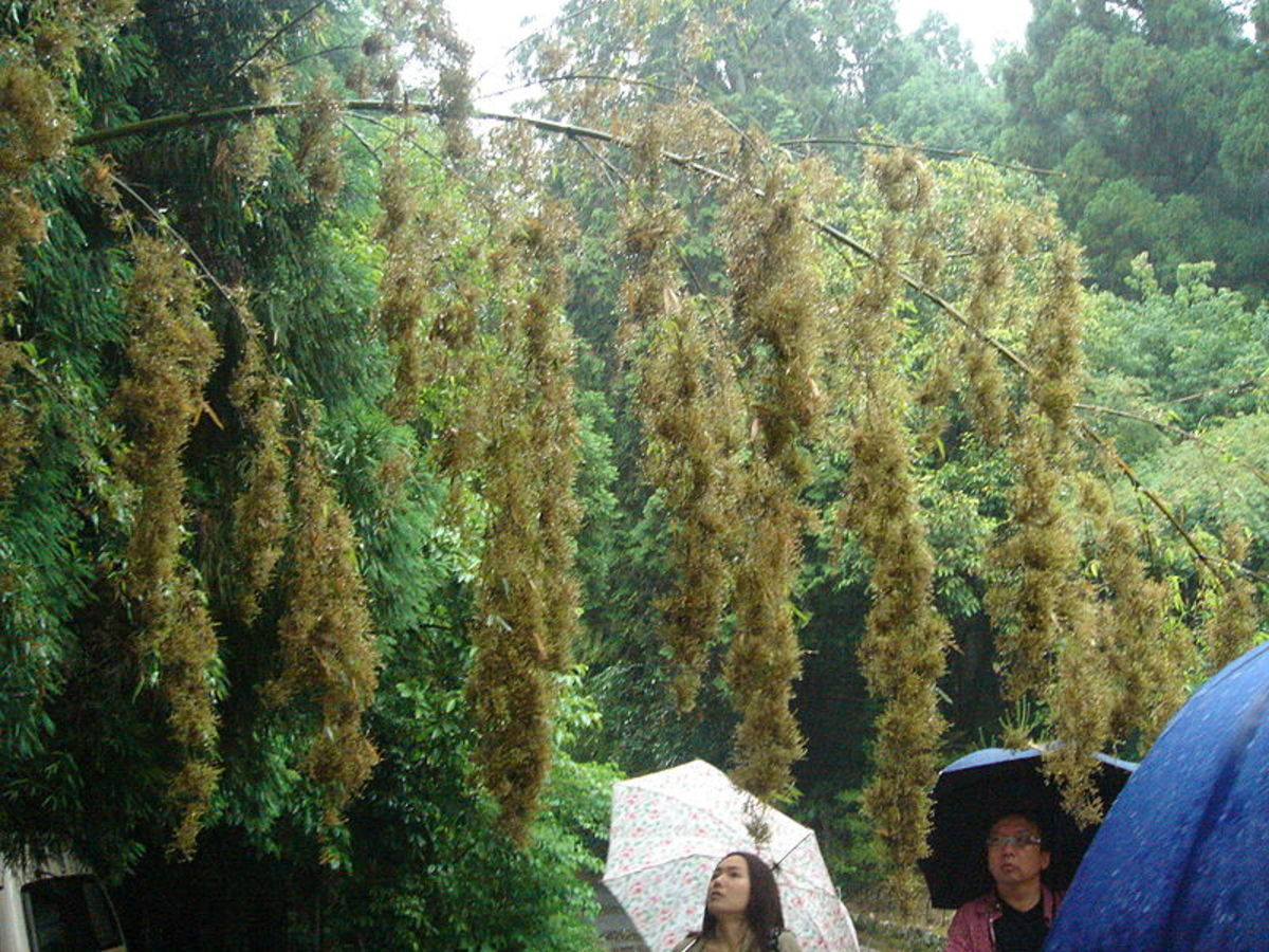 Bamboo Flowering. Author Joi Ito from Inbamura, Japan. Source Flickr. Wikimedia Commons