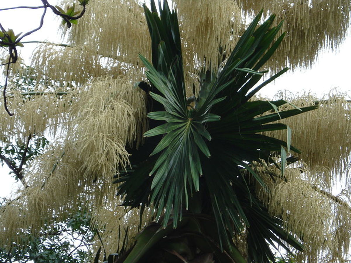 Flowering Talipot Palm at Foster Botanical Gardens, Honolulu, Hawaii. Author Cumulus Clouds. Source Wikimedia Commons