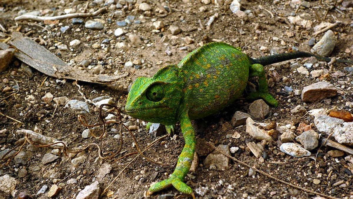 The Common Chameleon is found in Portugal and is the only chameleon found in Europe