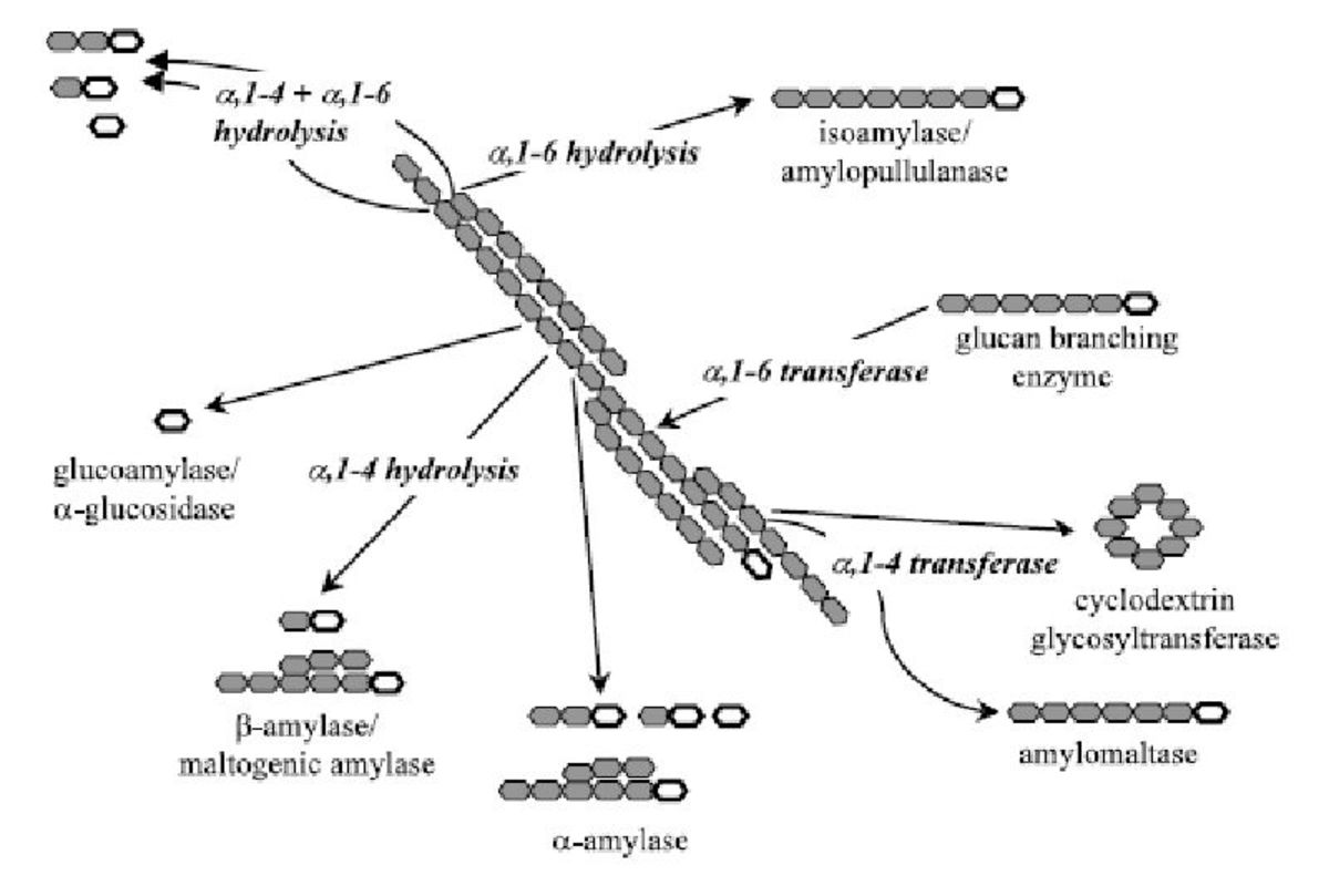 Figure 1 Summary of the action of the four classes of amylases on starch digestion