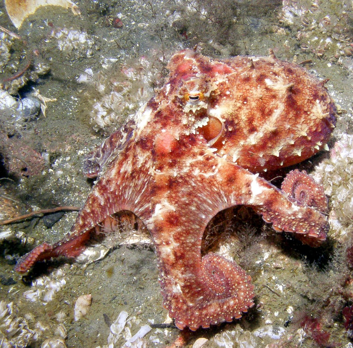 The East Pacific red octopus (Octopus rubescens) can be found off the coast of California and in other areas.