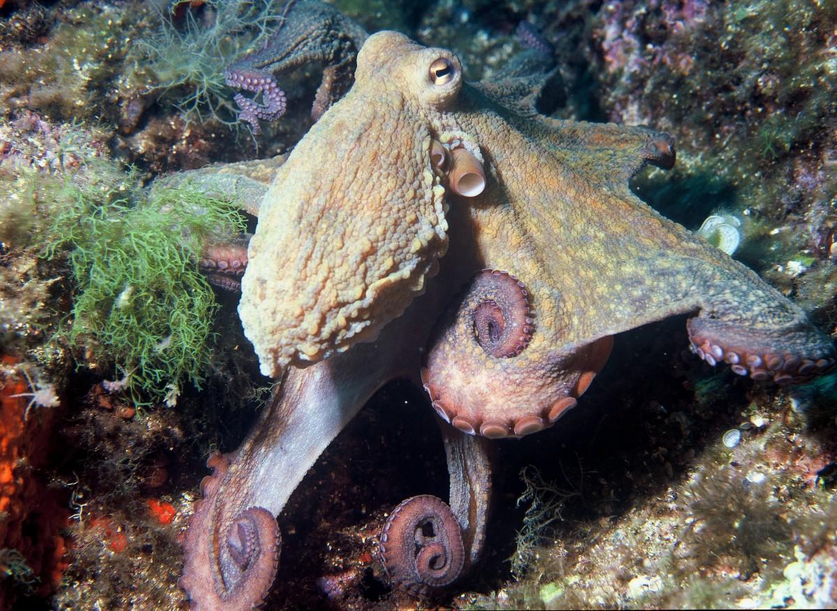 The common octopus, or Octopus vulgaris, in the Mediterranean Sea