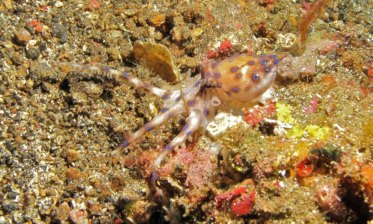 The southern blue-ringed octopus, or Hapalochlaena maculosa