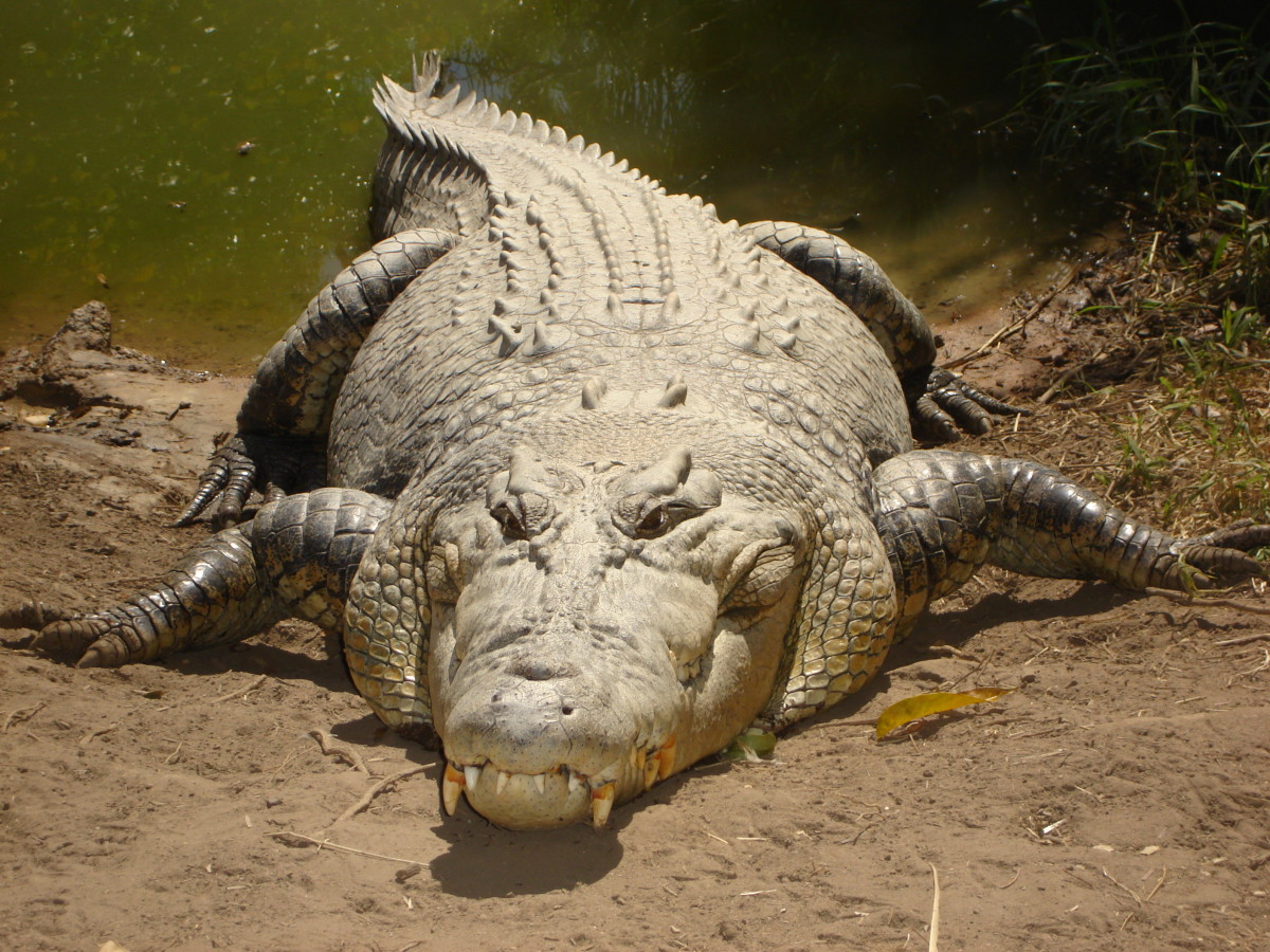 The saltwater crocodile is an aggressive predator that eats a wide variety of prey including fish, birds, crustaceans, mammals, and other reptiles.