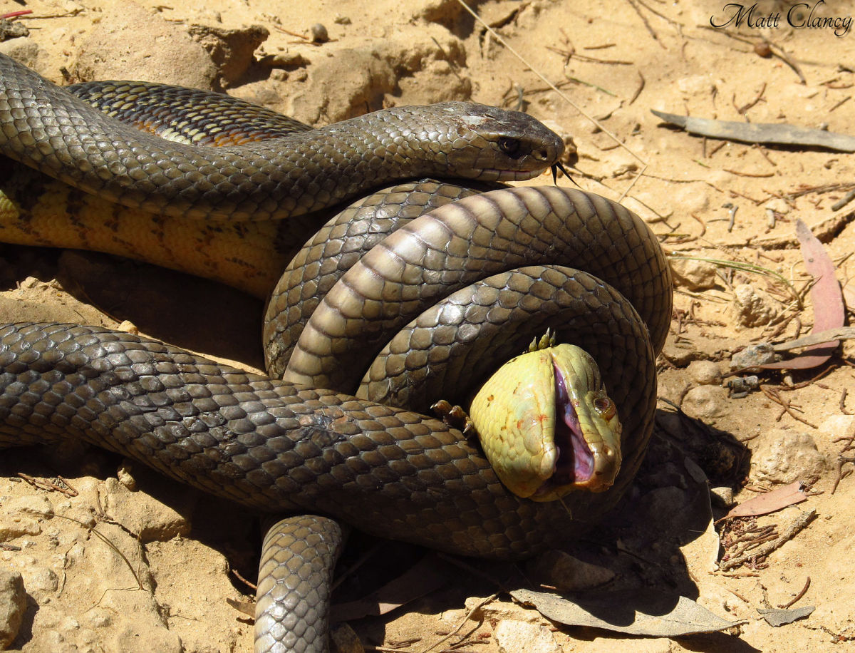 This common brown snake is the second most venomous snake in the world.