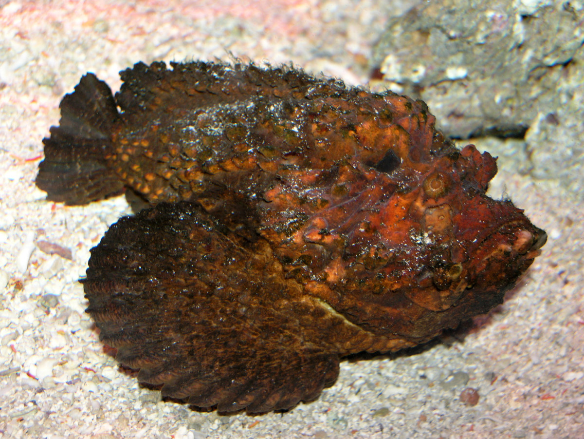 Stonefish feature in Aborigine culture and the Aborigines of Northern Australia and the Great Barrier Reef have their own distinctive methods for preparing the fish for eating to prevent being poisoned.