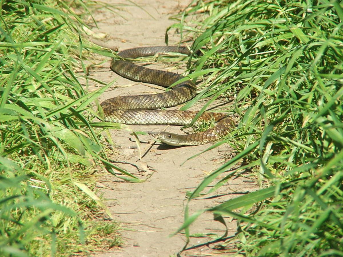 Kaplan yılanları çoğu Avustralya eyaletinde koruma altındadır - birini öldürmek veya yaralamak 7.500 dolara kadar para cezasına veya 18 aya kadar hapis cezasına çarptırılabilir.