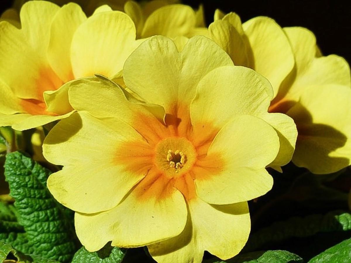 A cultivated primrose