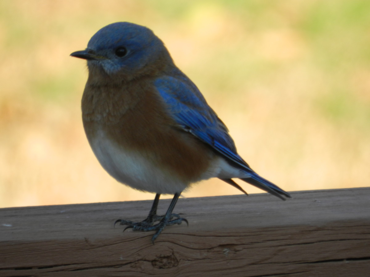 Spotting an Eastern Bluebird is cause for celebration as far as I'm concerned.
