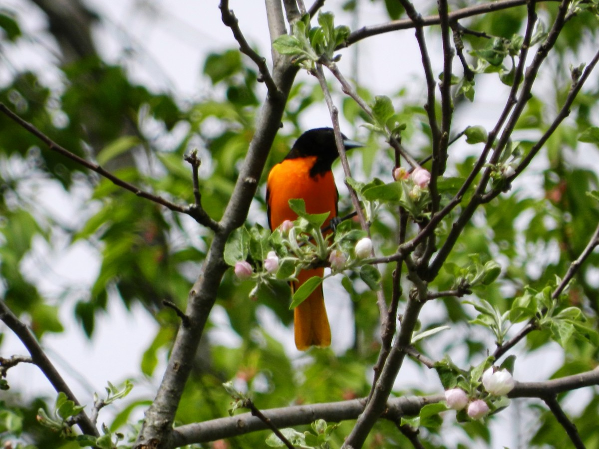 My nemesis, the elusive Baltimore Oriole. Not a great shot, but there's always next year.